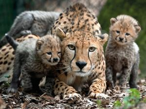 Gepard i Burgers Zoo | Ferie i Holland | Landal GreenParks